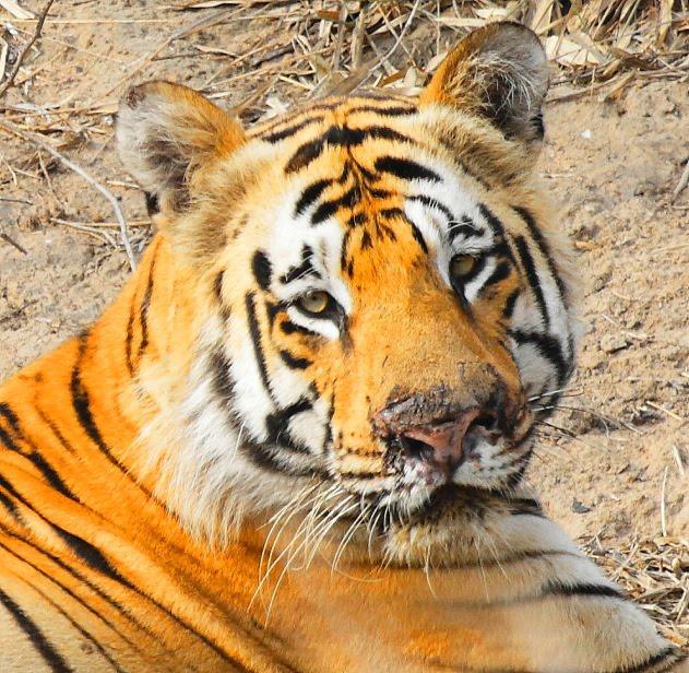 Tiger Joint Salvi hind