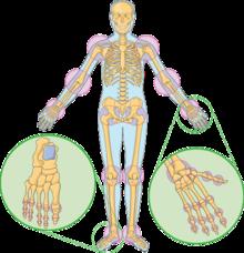 Sore liigesed skelettil Kuidas eemaldada valu ja liigese poletik