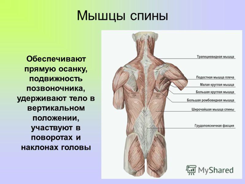Vaimu kuunarnukid ja lihased Artrosi harja Sustava